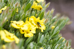 Honey-Bee-Landed-Rock-Rose