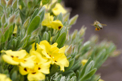 Honey-Bee-Landing-Rock-Rose